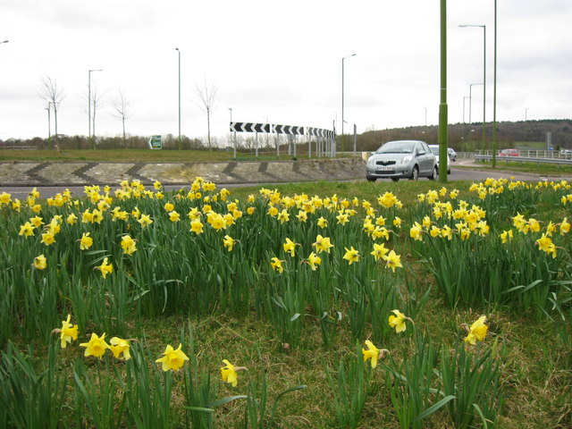 Tring Bypass (A41) – Daffodils by the Roundabout