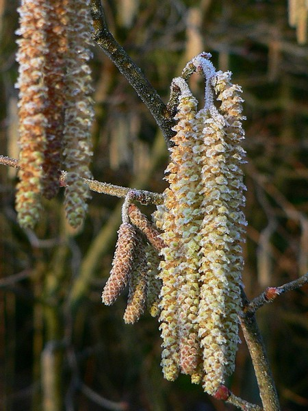 Frosted catkins