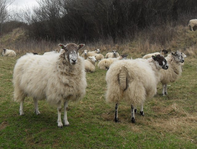 Sheep on Ham Hill