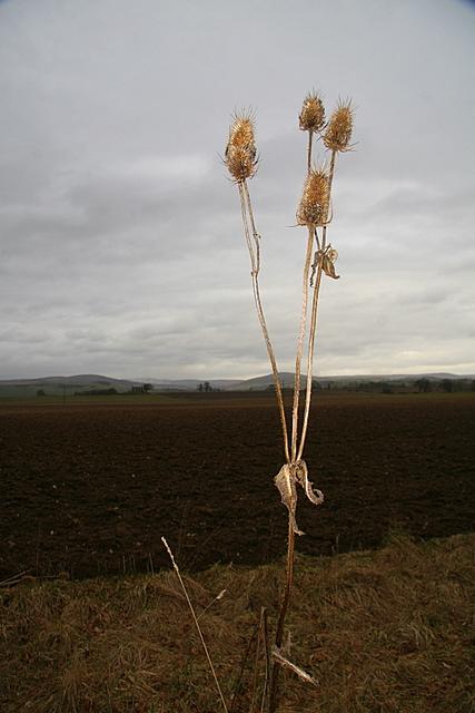 Teasel, Miltonbank farm