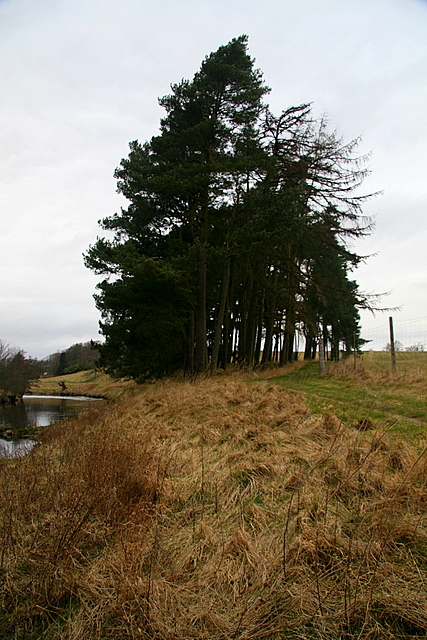 Clump of coniferous trees, South Esk