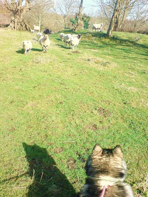 Haroldston. Dog chased by sheep!