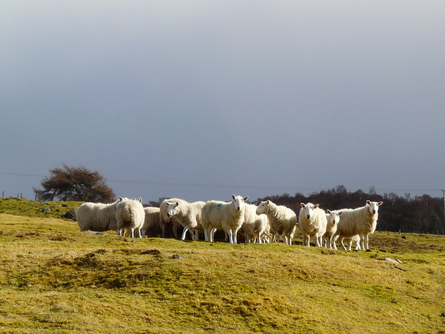 Sheep on the moor above Tressady