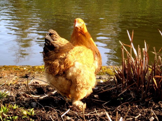 Abbey chicken
