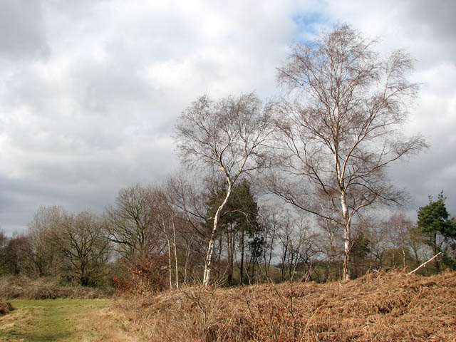 Mature birches on the edge of a clearing