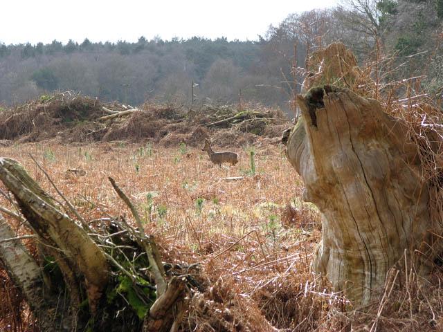 Pine trees and roe deer (Capreolus capreolus)