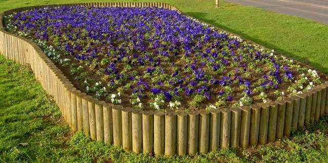 New Rossington pansies