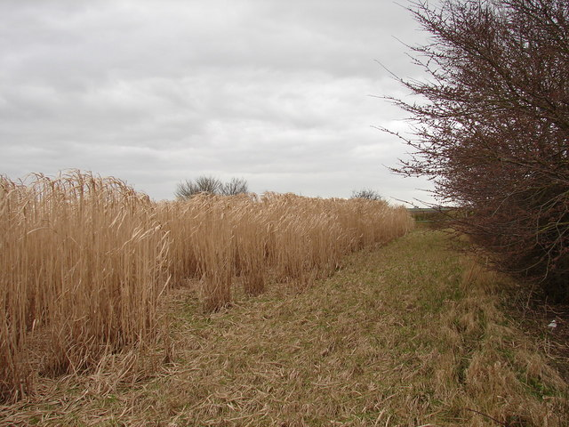 Reeds near the road