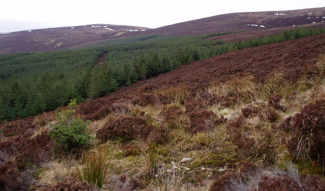 Plantation below Ben Rinnes