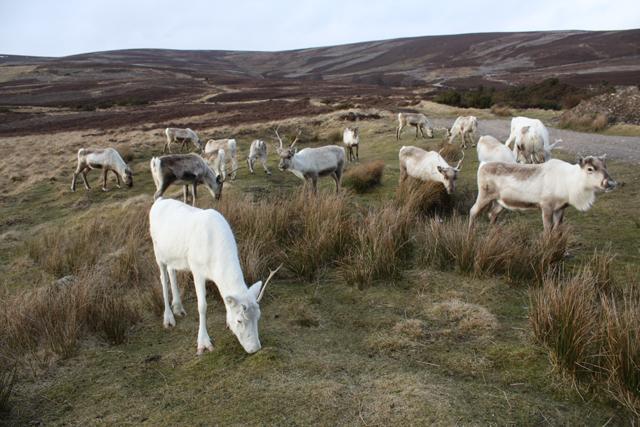 Reindeer grazing beside the Cromdale Hills