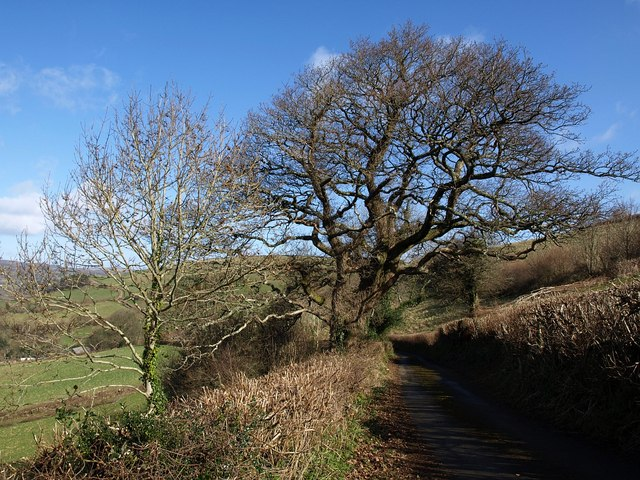 Oak by the lane to Pridhamsleigh
