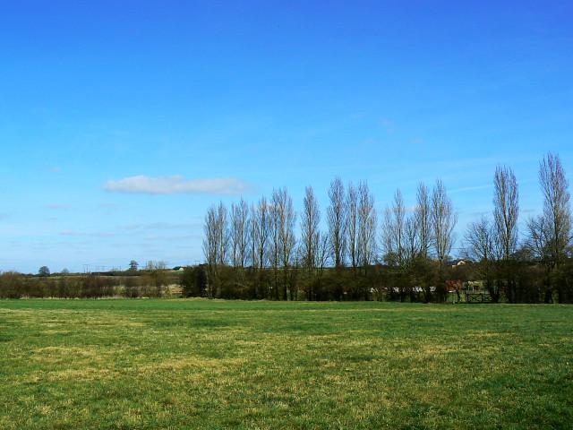Field and poplars near Lydiard Millicent