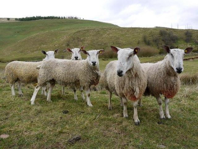 Friendly sheep on Ewe Hill