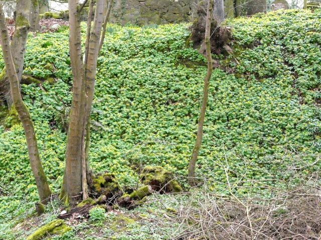 A sea of spring Celandines, by Nigg Old Church