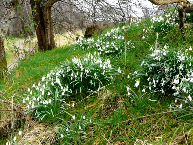 Snowdrops along The Bishop's Walk, Nigg