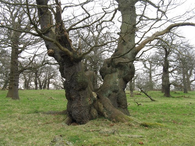 Ancient Oaks in Dalkeith Country Park