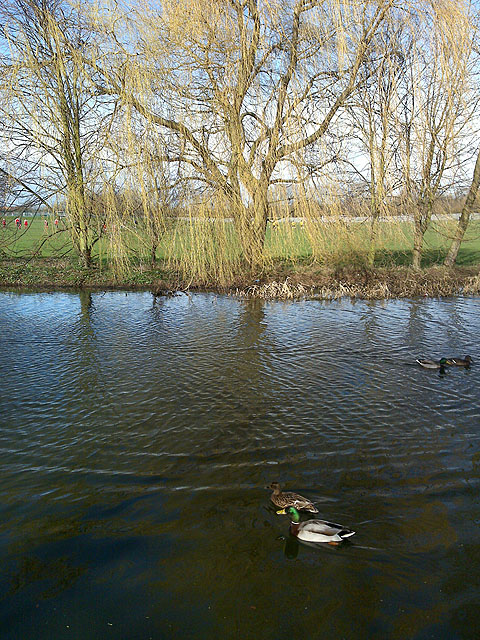 Willow and Ducks