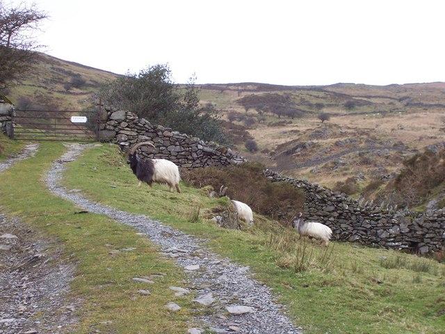 Mountain Goats near Maes-y-Garnedd Farm