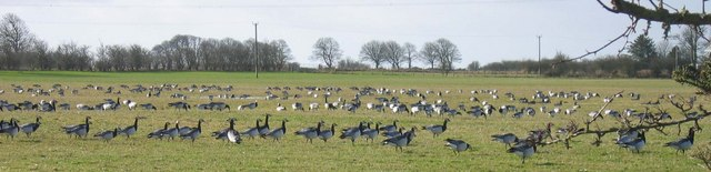Barnacle Geese in fields near Caerlaverock