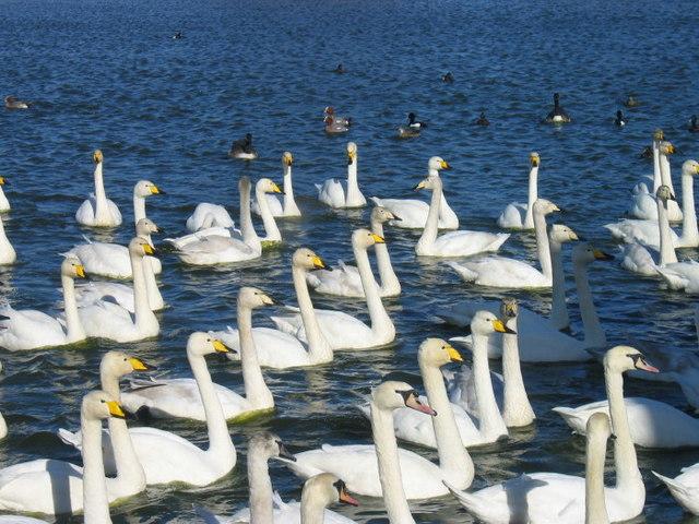 Swan feeding time at Caerlaverock