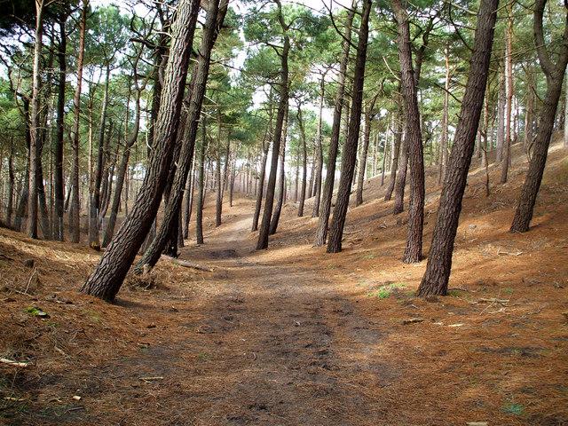 Formby woodland.