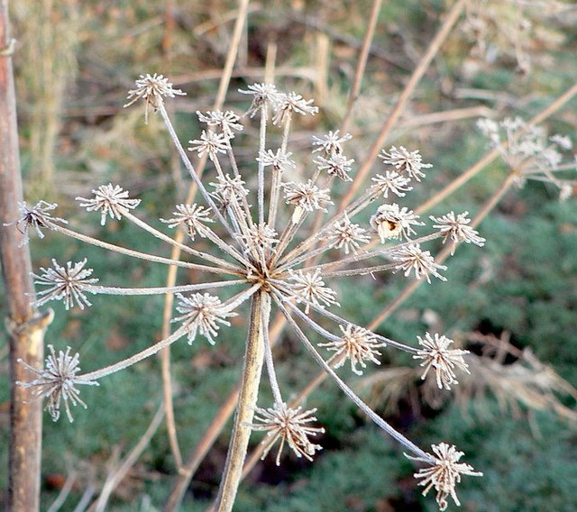 Frosted cow parsley