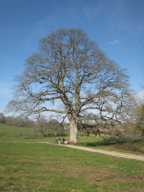 A fine oak tree by the Tamar on the Pentillie Estate