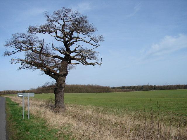 Roadside tree on B1211