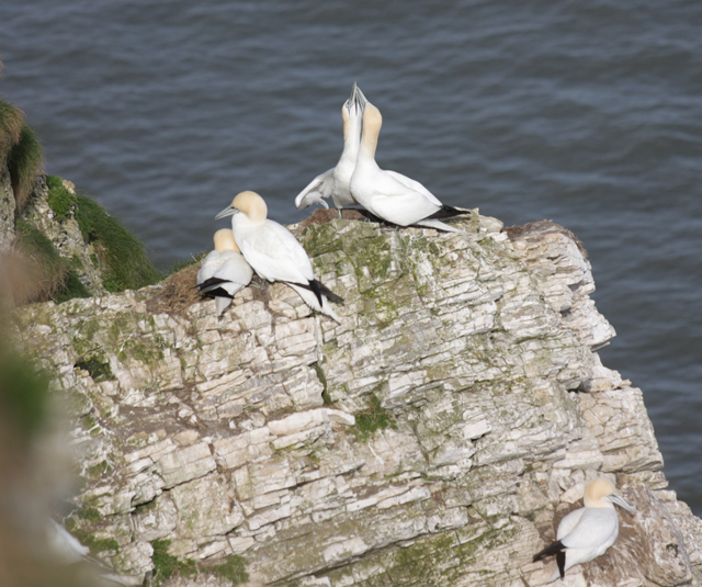 Gannets nesting above Scale Nab