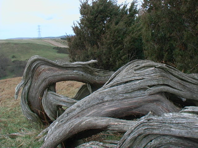 Juniper 'tree' near Ilderton