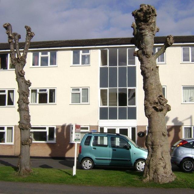 Pollarded plane trees, Charles Street, Warwick