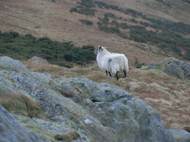 A local mutton on open moorland near Ilderton