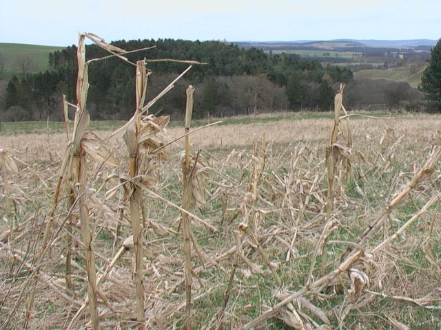 Corn field near Ilderton