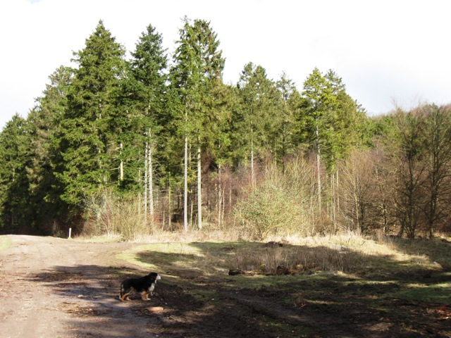 A Fine Stand of Fir Trees