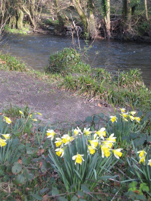 Daffodils by the River Lynher