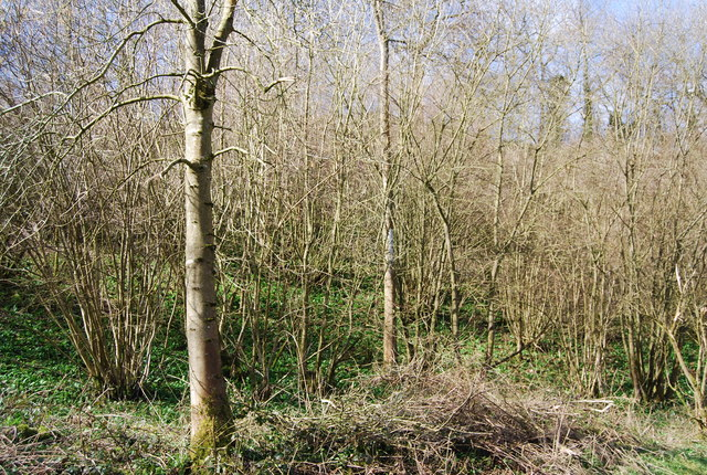 Coppiced woodland on the Greensand escarpment