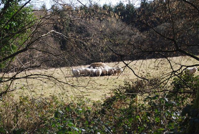 A flock of sheep feeding on hay