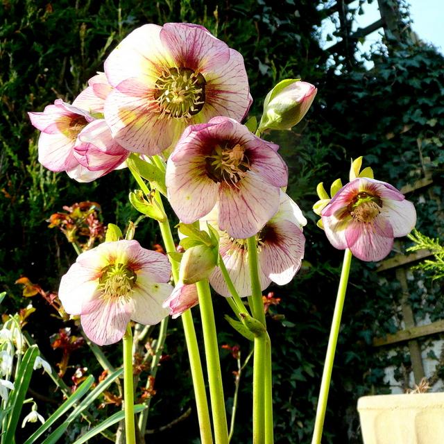 Helleborus niger hybrid - Lenten Rose 2