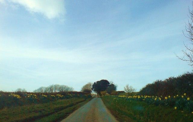 Daffodil extravaganza
