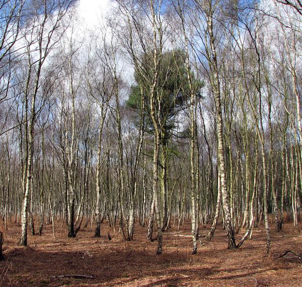 A lone pine tree