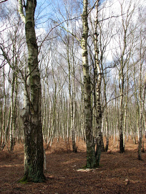 Birches in Houghen Plantation