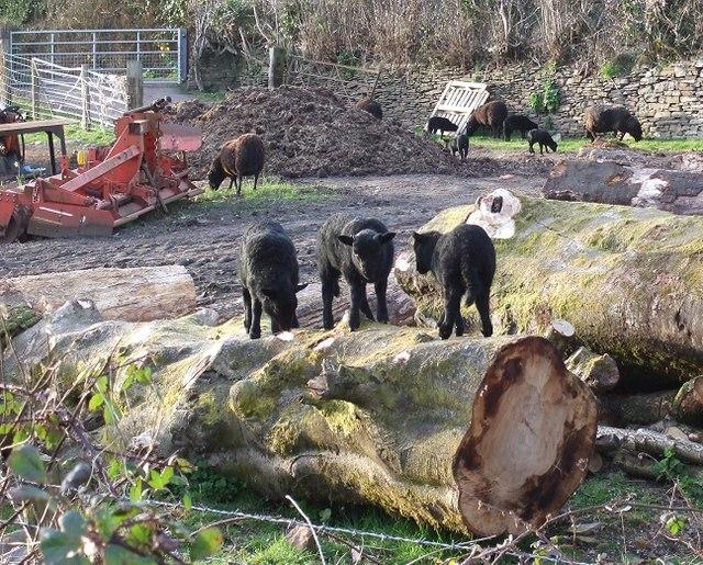 Black Lambs at Craig-y-Rhacca Farm