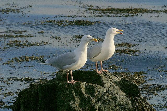 Herring Gulls (Larus argentatus), Uyeasound