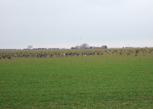 Brent geese on farm land near the Wade