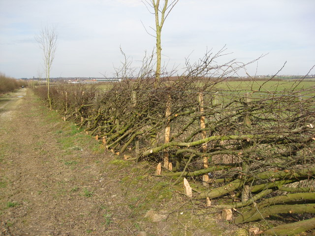 Laid Hedge on Hardy's Lane near the former Copenhagen Farm