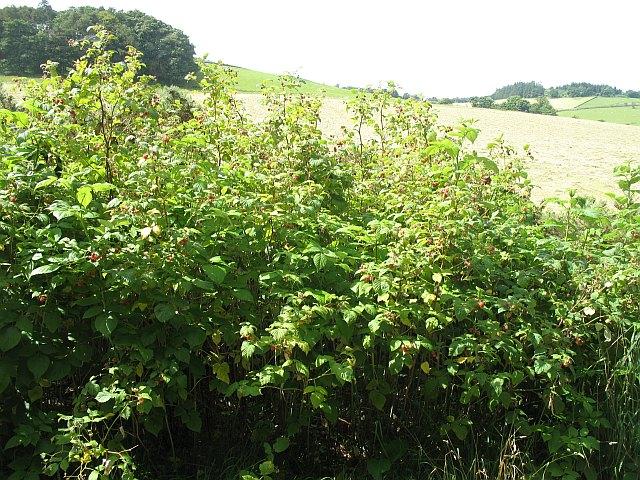 Raspberries, Tantah
