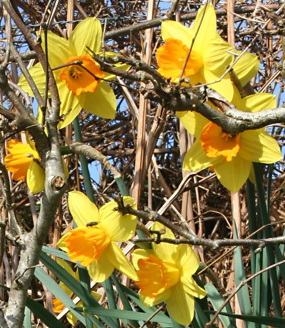 Daffodils in the Hedgerow