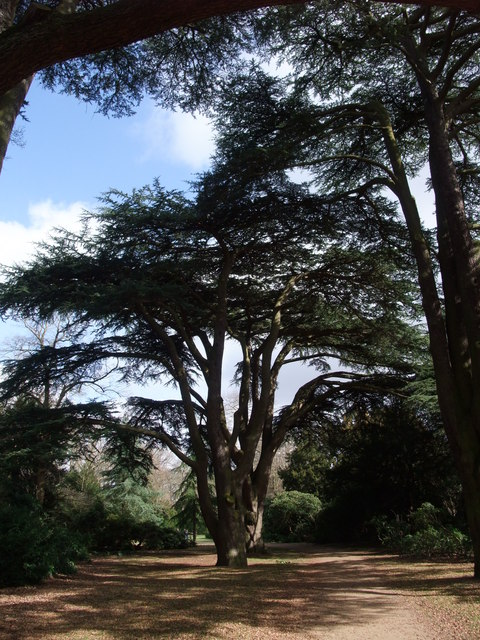 Cedar of Lebanon, Clumber Park