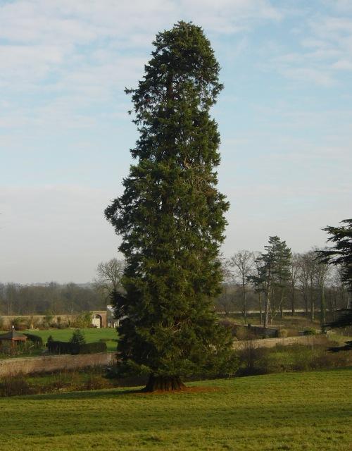 Sequoiadendron giganteum at Lartington