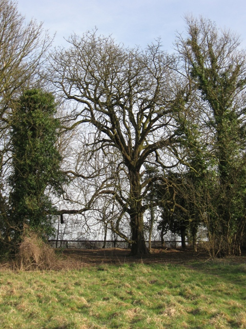 An Old Horse Chestnut Tree near Aldbury in March